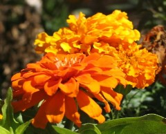Double Orange Flowers