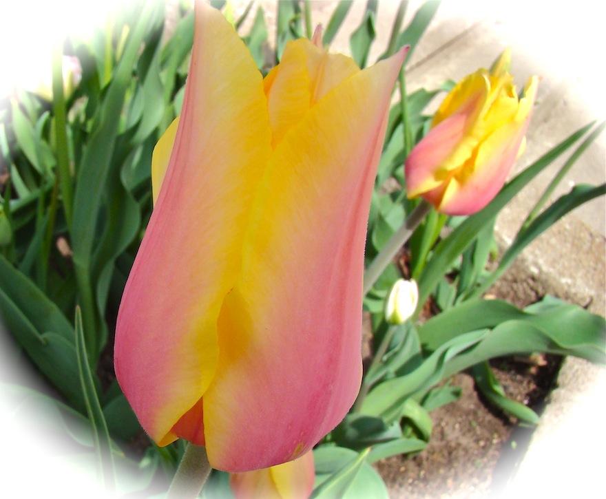 Pastel Single Tulip