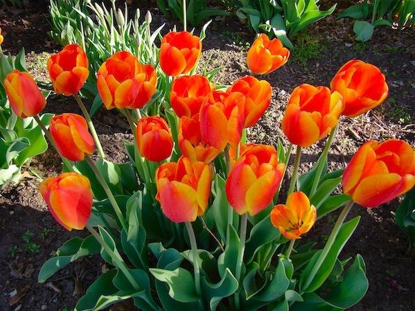 Orange Tulip Grouping