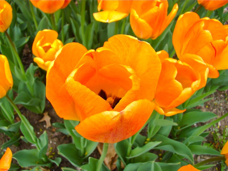 Gold Tulips