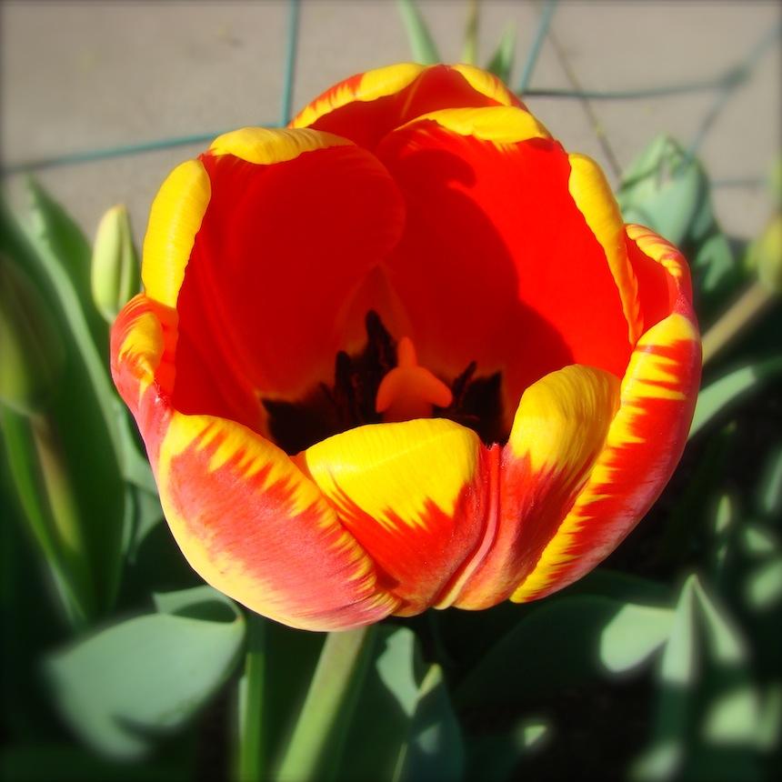 Tulip Orange with Yellow