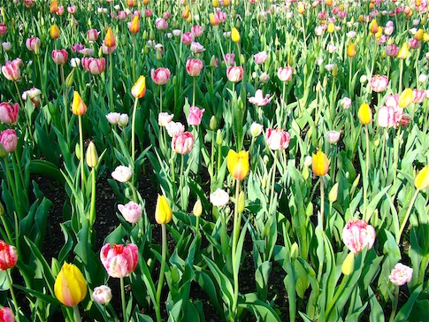 Field of Pastel Tulips