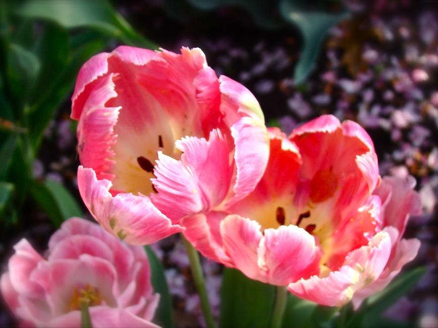 Tulips Pastel Duo