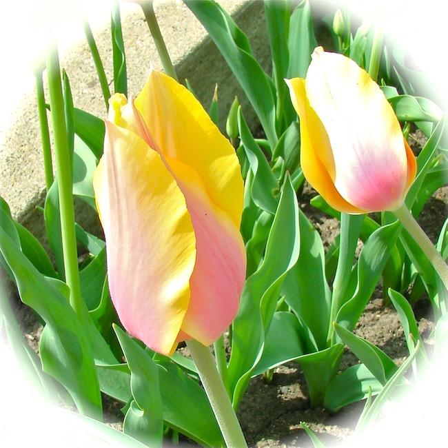 Pastel Pella Tulips
