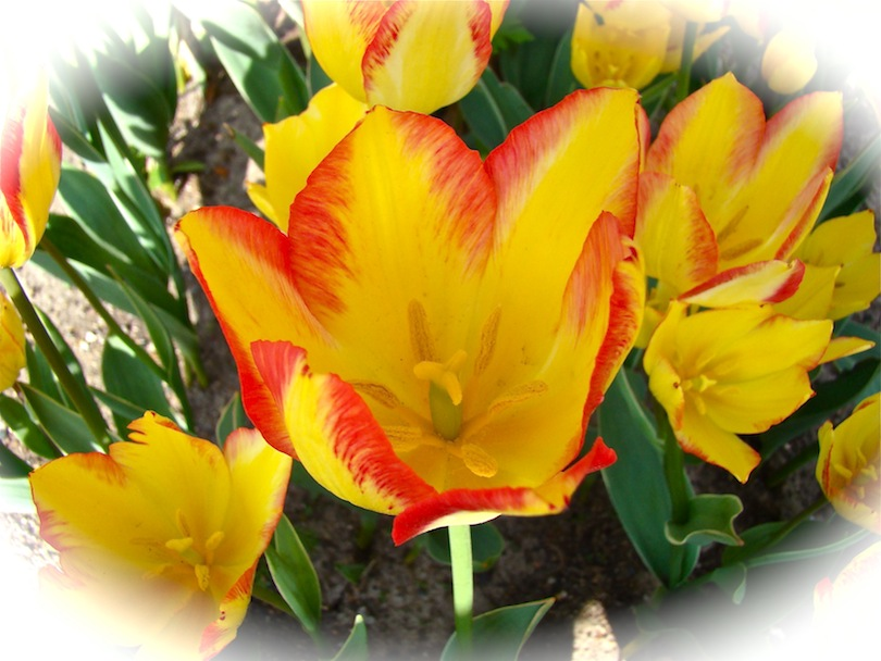 Tulips Yellow with Red Fringe