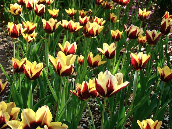 Field of Burgundy and Yellow Tulips