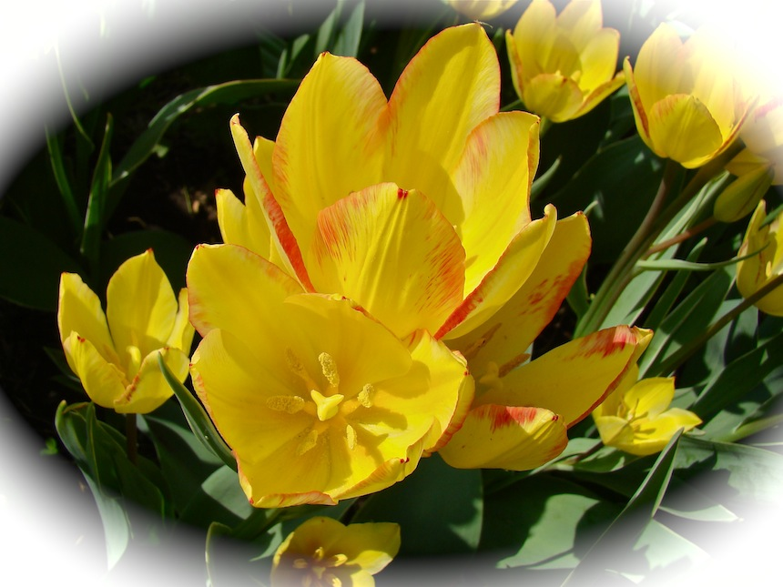 Tulips Delicate Yellow