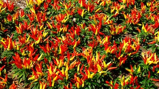 Ornamental Peppers flowers