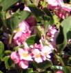Pella Pink Flowers