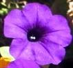 Pella Purple Flowers