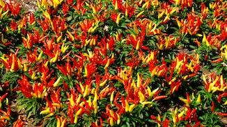 Ornamental Peppers flowers