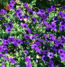 purple petunias flowers